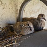 Mourning Doves San Diego Creature Project